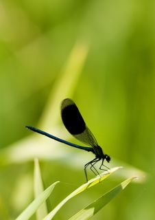 Free Damselfly Royalty Free Stock Images - 15133319