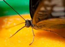 Free Macro Shot Of A Butterfly Feeding Stock Photography - 15134212