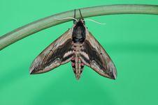 Hawk Moth (Sphinx Ligustri) Royalty Free Stock Images