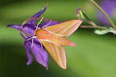 Hawk Moth (Deilephila Elpenor) Royalty Free Stock Images