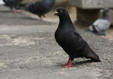 Black Dove On The Asphalt Track Royalty Free Stock Photography