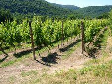 Free Vineyard Stock Images - 15135364