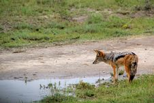 Free Black Backed Jackal Royalty Free Stock Photos - 15135628