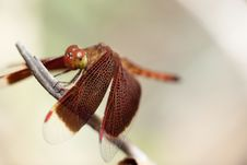 Free Red Dragonfly Royalty Free Stock Image - 15136726