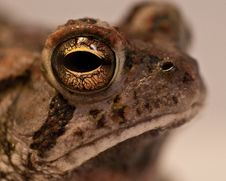 Free Toad Closeup Stock Image - 15137151