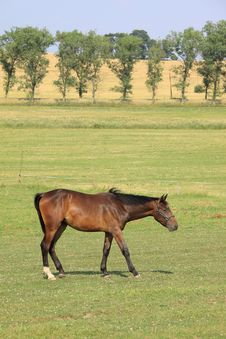 Free Brown Horse On The Green Pasture Royalty Free Stock Image - 15138076