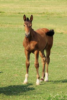 Free The Little Foal Stock Photo - 15138110