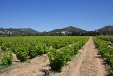 Rows Of Vines Royalty Free Stock Photography
