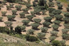 Olive Grove In Provence Stock Photo