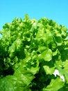 Free Salad Royalty Free Stock Photography - 15147167