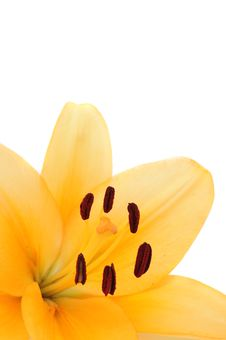 Free Beautiful Yellow Lily Royalty Free Stock Photos - 15140098