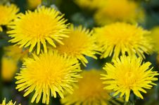 Yellow Dandelion In The Grass Green Meadow Stock Images