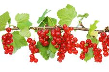 Branch Of A Red Currant