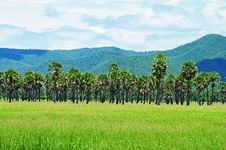 Free Rice Farm With Coconut Tree Stock Images - 15141164
