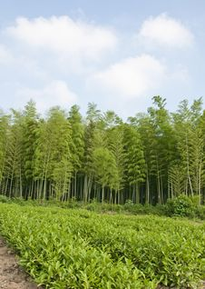 Free Bamboo Forest Royalty Free Stock Image - 15141596