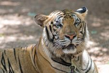 Free Tiger Stock Photography - 15142462