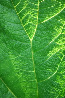 Free Gunnera Manicata Leaf Up Close Royalty Free Stock Photo - 15142485