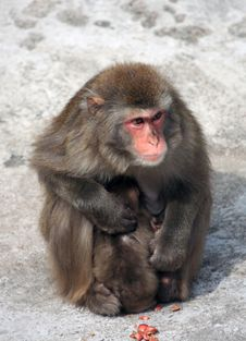 Female Macaque With Baby Stock Photos
