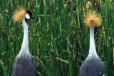 Free West African Crowned Crane Royalty Free Stock Image - 15142726