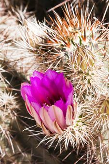 Free Hedgehog Cactus Blossoms Royalty Free Stock Photo - 15143135