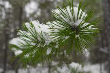 Free Pine Needles Under Snow Royalty Free Stock Image - 15144116