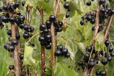 Free Black Currants On Branch In Summertime Stock Photos - 15144233