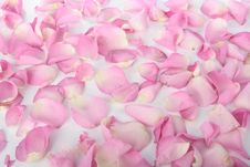 Free Petals Of Pink Roses Over White Royalty Free Stock Photo - 15144385