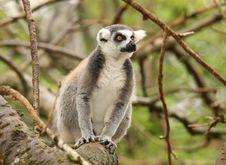 Free Ring Tailed Lemur Royalty Free Stock Photo - 15144395