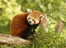 Free Red Panda Royalty Free Stock Photos - 15144468