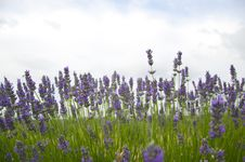 Free Lavander Stock Photos - 15144713