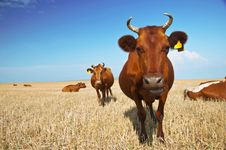 Free Cow Royalty Free Stock Images - 15145389