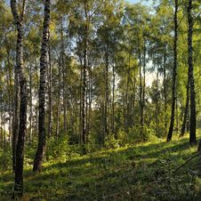 Free Birch Grove. Royalty Free Stock Image - 15145706