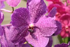 Free Purple Colored Orchid Royalty Free Stock Photos - 15146028