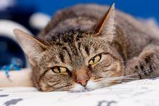 Free Cat Royalty Free Stock Image - 15146076