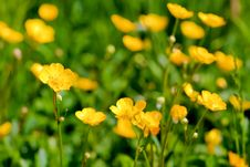 Free Buttercup Close Ups Royalty Free Stock Photo - 15146445
