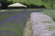 Free Boy Running In A Field Of Lavender Stock Photo - 15146530