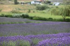 Beautiful Lavender Farm Royalty Free Stock Images