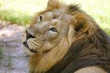 Free Lion Stock Photo - 15147320