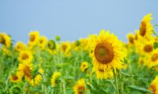 Free Sunflowers Stock Images - 15148674