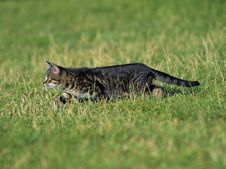 Free Kitten On The Lurk. Royalty Free Stock Image - 15148736