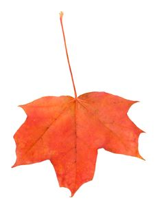 Red Maple Leaf Isolated On White Royalty Free Stock Image
