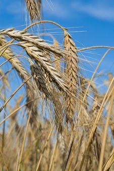Ripe Rye Ears Against A Blue Sky Royalty Free Stock Photography