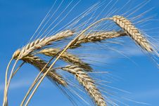 Ripe Rye Ears Against A Blue Sky Stock Images