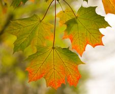 Free Three Maple Leaves In Autumn Stock Images - 15149434