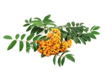 Free Mountain Ash Branch Stock Photo - 15149900