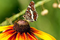 Free Beautiful Butterfly With Patterned Wings On Echina Royalty Free Stock Images - 15154899