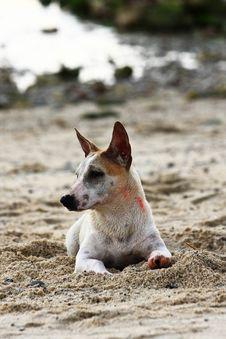 Free Thai Dog Stock Photo - 15151510