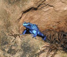 Free Blue Poison Arrow Frog Stock Photos - 15151663
