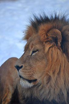 Free Profile Of A Lion At The Calgary Zoo Stock Photos - 15153053