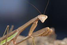 Free Mantis Stock Photography - 15153542